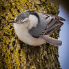 Nuthatch with Injured Feather