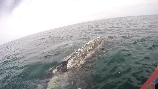 Mama and Baby Gray Whales 2019