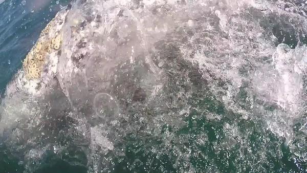 Gray Whales San Ignacio Bay 2019