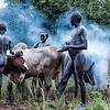 Smoke to Keep Insects Away from Cattle
