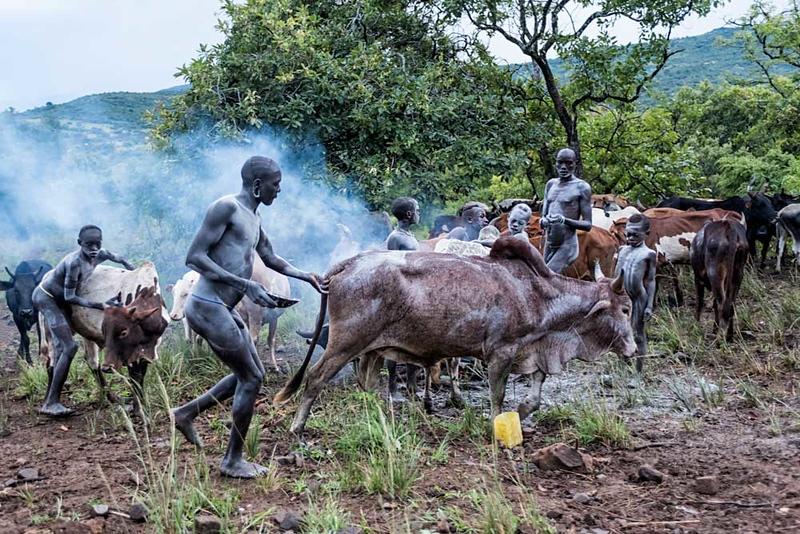Bome Man Preparing A Cow