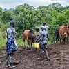 Nyangatom Family Selecting A Cow