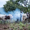 Preparing Cattle To Draw Their Blood