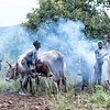 Bome People Tending Their Cattle