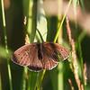gullringvinge sommerfugl ps-023