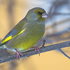 grønnfink ps-9780