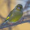 grønnfink ps-9777