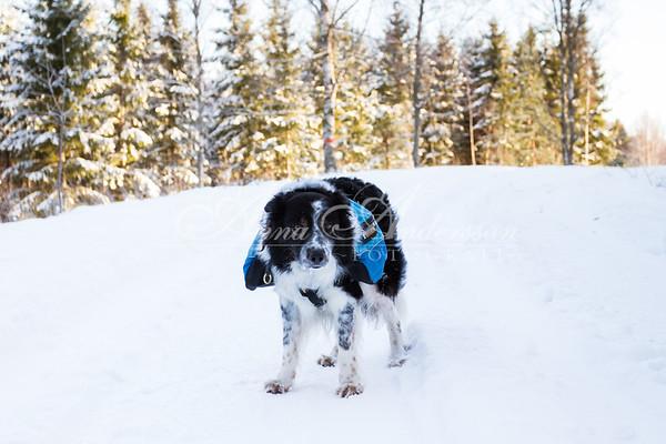 Hund med ryggsäck i snö