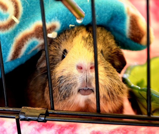 O. C. Charity Cavies (Guinea Pigs) Event