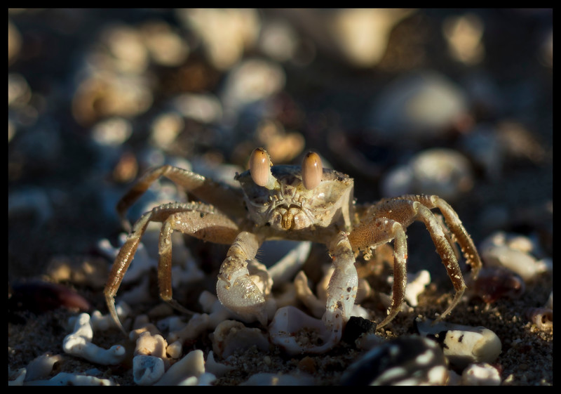 Red Sea Crab