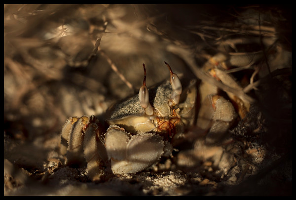 Red Sea Ghost Crab