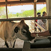 The sweetest Jersey cow, living in Permaculture Zone 3