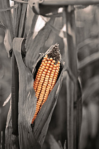 COLORIZED CORN
