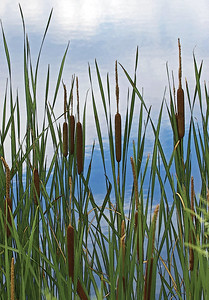 SUMMER CATTAILS