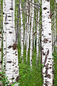 STEAMBOAT ASPENS