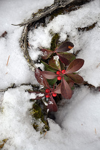 Berries and Snow Lake Superior Dec 5, 2011