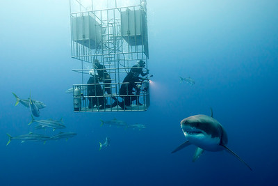 White Shark Viewing - Bruce Wight