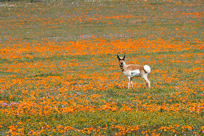 Antelope in the Super Bloom - Bruce Wight
