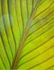 Leaf Study # 36-1