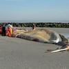 Staff from the Brigantine Marine Mammal Stranding Center begin steps necessary for removal and examination of the whale that washed up on the 7th Street beach in Ocean City, New Jersey on January 23, 2012