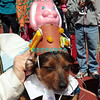 OCEAN CITY, NJ - APRIL 07:  Todd, 5 year old Daschund attends the Woof N Paws event on April 7, 2012 in Ocean City, New Jersey.