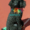 OCEAN CITY, NJ - APRIL 07: Isabella, 2 year old Standard Poodle attends the Woof N Paws event on April 7, 2012 in Ocean City, New Jersey.
