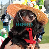 OCEAN CITY, NJ - APRIL 07:  Trevor, 14 year old Daschund attends the Woof N Paws event on April 7, 2012 in Ocean City, New Jersey.