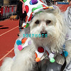 OCEAN CITY, NJ - APRIL 07: Beanie Bear, 12 year old Coton de Tulear attends the Woof N Paws event on April 7, 2012 in Ocean City, New Jersey.