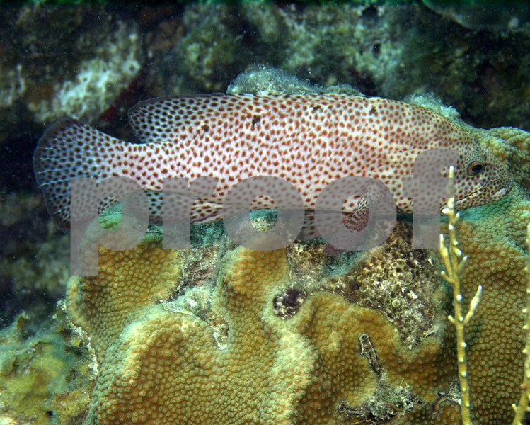 This Graysby is part of the Grouper family and very common in all of the waters that surround St. Croix. The can grow up to a foot in length and are unconcerned with divers so close observation is possible.