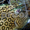 This Honeycomb Cowfish will move away if you approach it directly but with a slow approach from the side it will actually grow curious and very close observation is possible.