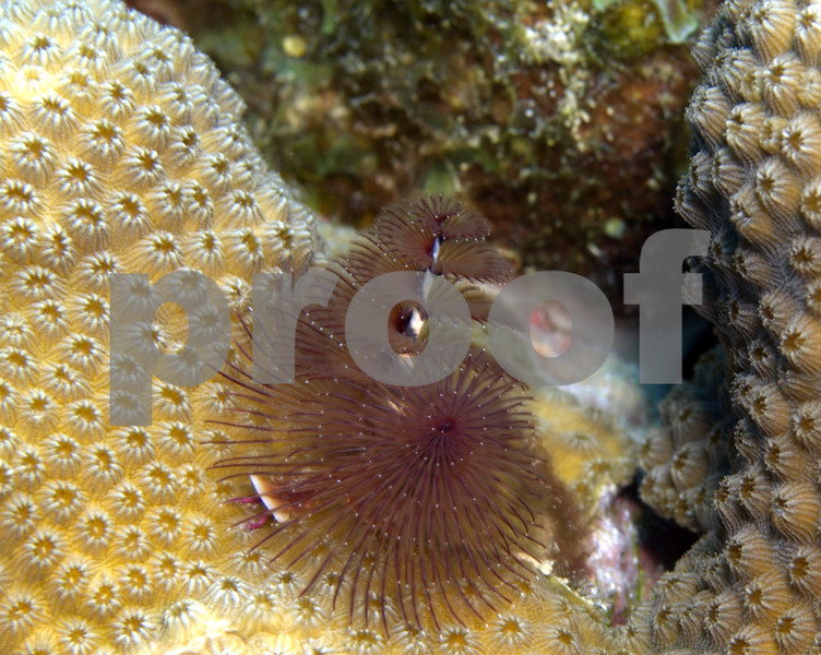 This is a Christmas Tree Worm. When approached it will retract into it's tube and disappear.