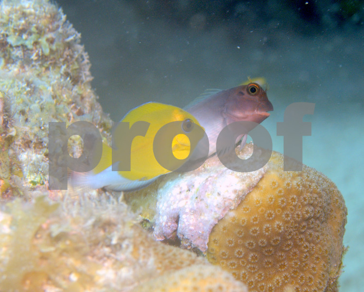 REDLIP BLENNY AND JUVENILE BLUE TANG ON STAR CORAL