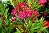 Bright Pink Flowers on Ocracoke Island