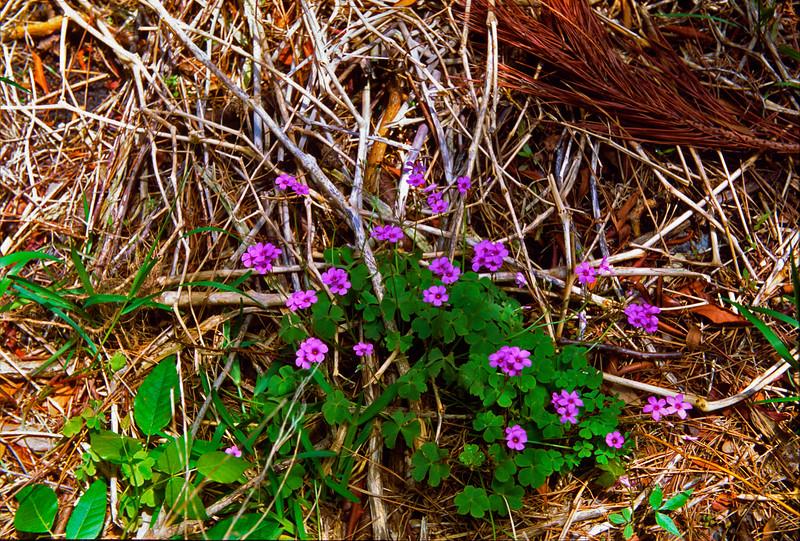 Purple Flowers - Springers Point on Ocracoke Island NC