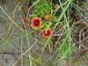 Beach Flowers, Ocracoke Island NC