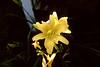 Ocracoke Gardens - Yellow Daffodill