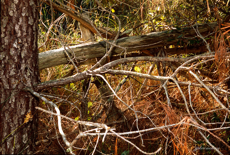 Branches & Pine Needles on the Springers Point Trail on Ocracoke Island