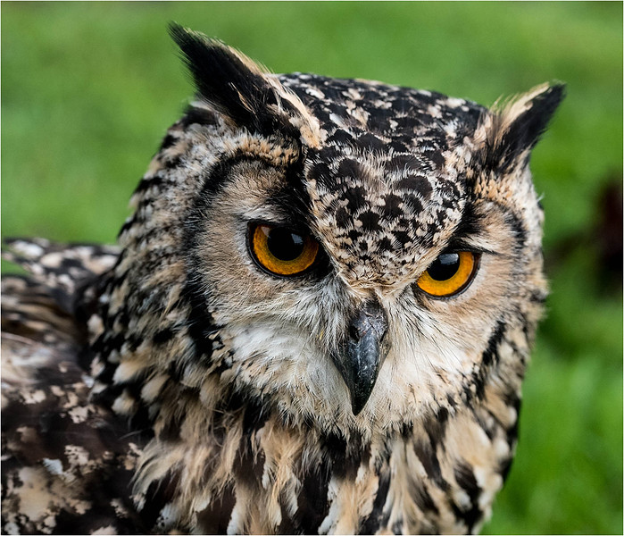 Indian Egale Owl