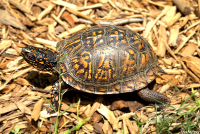 Box Turtle in our garden. Alpharetta, GA 08/03/2018 This work is licensed under a Creative Commons Attribution- NonCommercial 4.0 International License