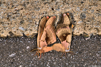 Moths mating. Alpharetta, AG 08/04/2018 This work is licensed under a Creative Commons Attribution- NonCommercial 4.0 International License
