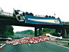 A BRIDGE TOO FAR (2) - This lorry overturned whilst crossing the M50 Motorway near Bromberrow in Gloucestershire, depositing 600 sheep carcasses onto the road below on October 14th, 2001. The Saab driver might have had an interesting conversation with his insurance company!.