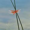 Flame skimmer (Libellula saturata)
