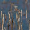 Variegated Meadowhawk<br /> Odello Lagoon<br /> October 2011