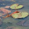 Cardinal Meadowhawk (Sympetrum ilotum)