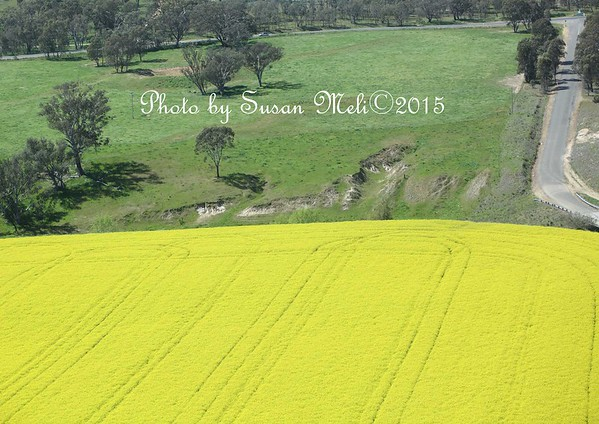 At the end of Young's Airport runway, a fresh and ripening crop of Canola