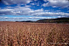 FALL CORNFIELD IN BERKS COUNTY PENNSYLVANIA