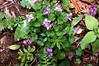 Purple Wild Flowers - Catoctin Mountains, Maryland
