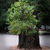 Old Redwood Stump