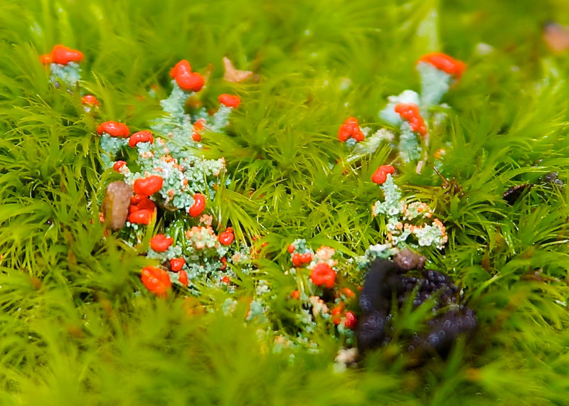 """These red lichen in the moss are called """"British Soldiers""""."""