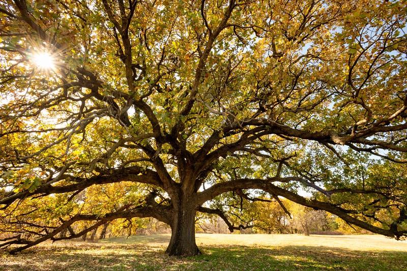 Lone Oak Fall Spendor